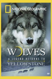 National Geographic – Wolves, A Legend Returns to Yellowstone (2000)
